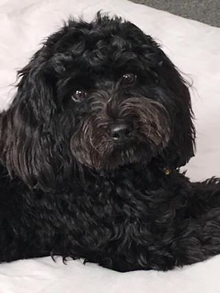 Cavoodle Breed Information Puppy Information Banksia