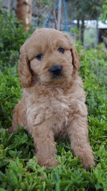 Groodle Breed Information Puppy Information Banksia Park Puppies