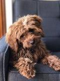 Cavoodle Breed Information