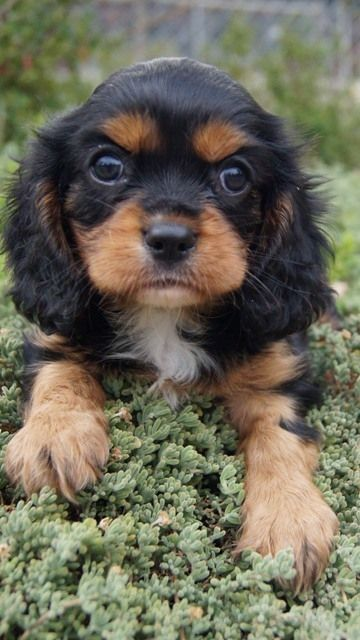 Cavalier King Charles Breed Information
