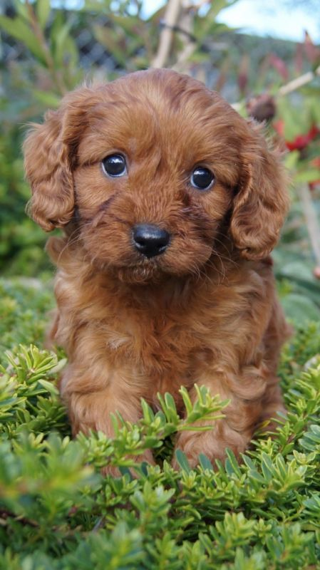 Cavoodle Dogs For Sale Adelaide