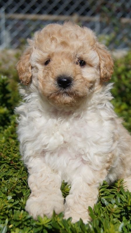 Schnoodle Breed Information